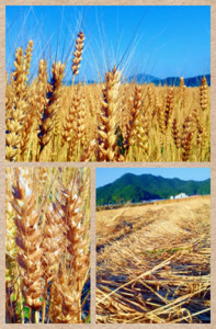 201306豊岡市なかのたに麦の収穫