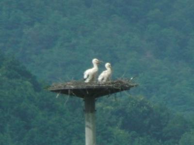 巣塔のコウノトリ